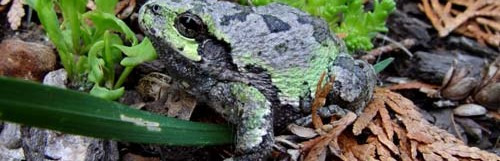 Common Grey Treefrog