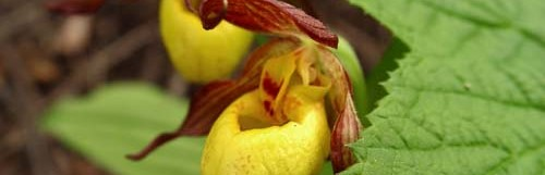 Yellow Lady's Slipper