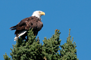 Bald Eagle ~Steve Brimm